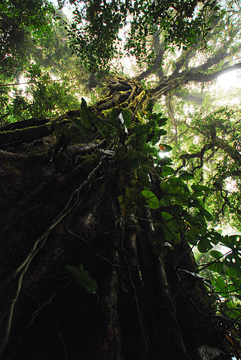 Mugumo tree. (Photo credit: Wikipedia)