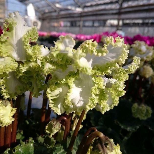 シクラメン「アイスプリンセス」#花 #はな #シクラメン  #キレイ #花のある生活 #flower #花が咲くまで#アイス