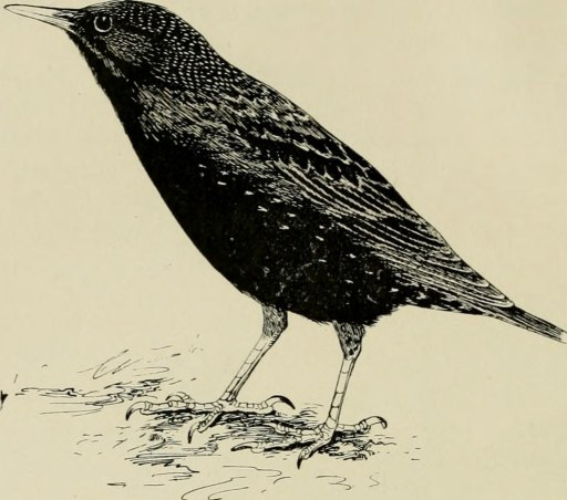 NYC's Wildlife Starlings
