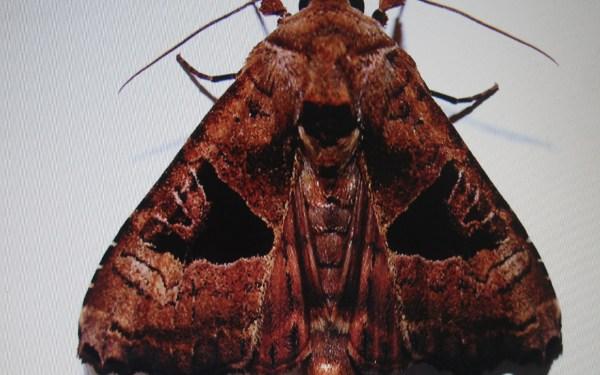 monsoon-Moth