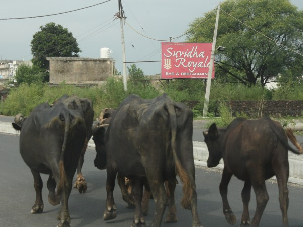 cattle-on-road