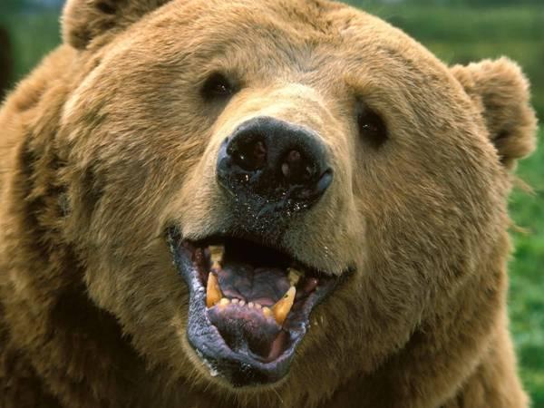 grizzly-bracha