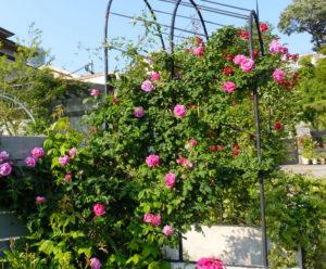薔薇(バラ)が美しい新横浜の金子さんのBerry's Garden(2017年5月撮影)