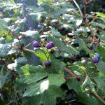 ヤマブドウに抗糖尿病作用あり 搾りかすポリフェノールがAGE生成をブロック