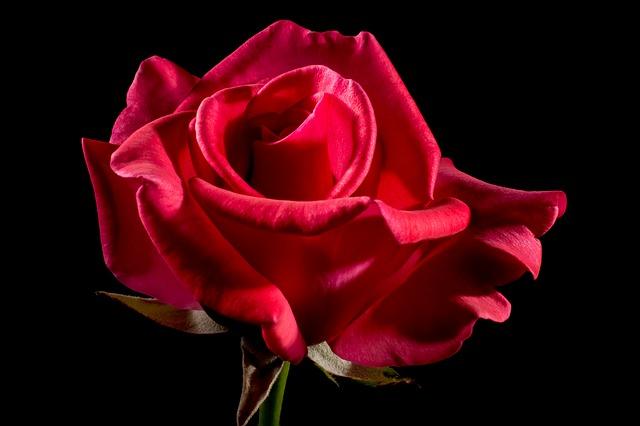 真っ赤なバラの花