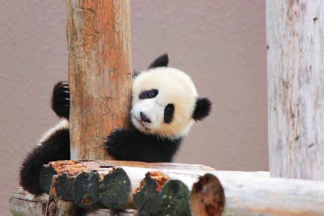 柱をつかむ小さいパンダ