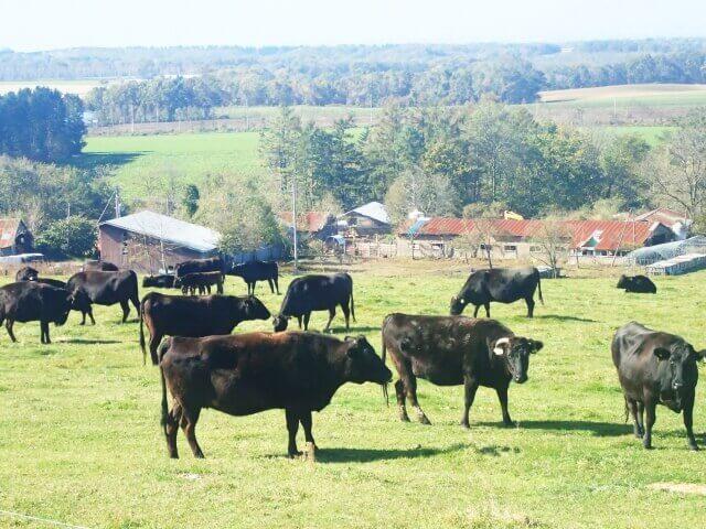 牧場にいる黒毛和牛