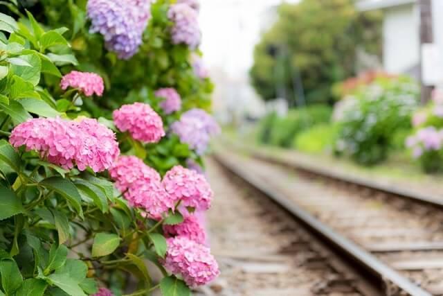 線路沿いに咲いたあじさいの花