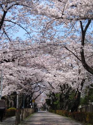 Sakura1_2011