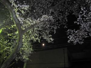 Yamato_sakura_2012
