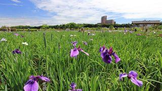 【小岩】小岩菖蒲園で菖蒲が見ごろです!【まつりは6/18まで】