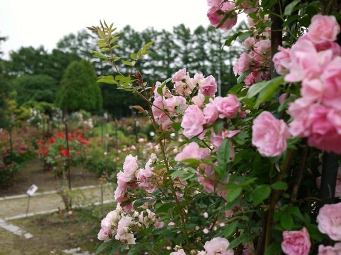 雪印種苗園芸センター「バラ見本園」