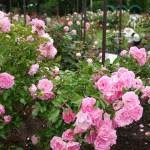 雪印種苗園芸センター(札幌市厚別区)※バラ見本園