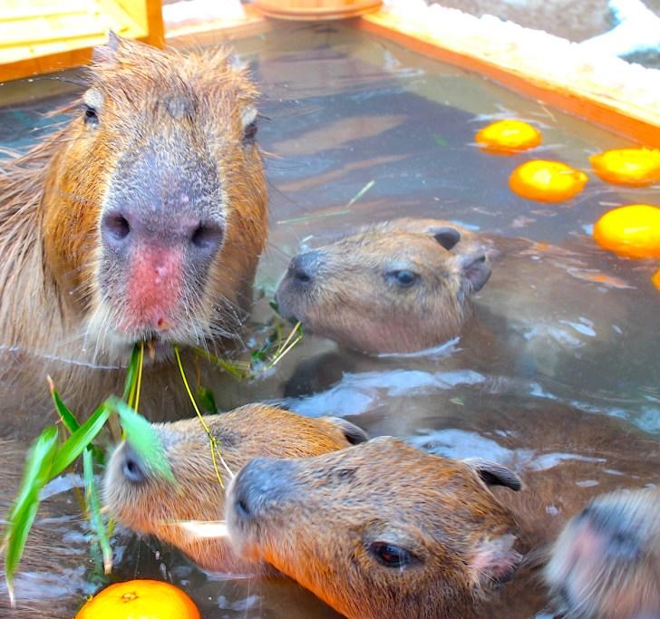 須坂市動物園の「カピバラ温泉」