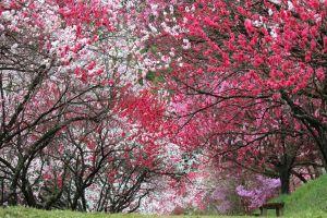 月川温泉郷 花桃の里
