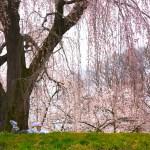 光林寺のしだれ桜