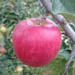 シナノスイート|長野県産りんご|信州・マルサ果樹園