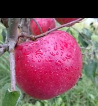 紅玉|りんご|減農薬|通販