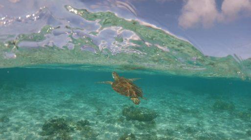 阿真ビーチでみたウミガメ