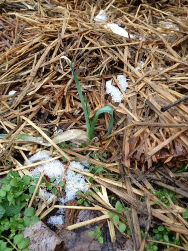 Garlic in January