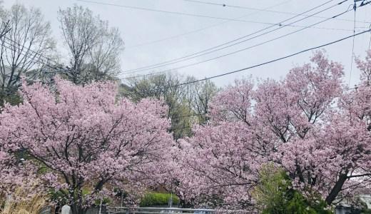 【2020年】新百合ヶ丘駅から柿生駅をつなぐ麻生川沿いの散歩コースの桜並木の様子を花見の代わりに画像と動画で紹介