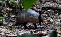 Nine-banded Armadillo. Yasuni Biosphere Reserve in Ecuador.