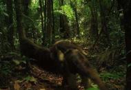 Giant Anteater. Yasuni Biosphere Reserve in Ecuador.