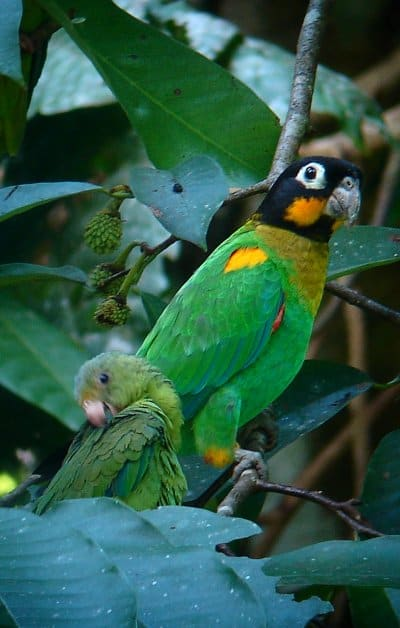Shiripuno Lodge - Orange-Cheecked Parrot sharing a branch with a Cobalt-winged Parakeet in a clay lick vecinity.