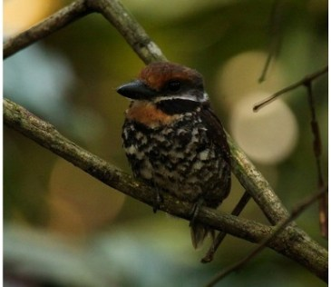 Shiripuno Lodge - Among the amazonian rarities the Spotted Puffbird can be found sometimes at eye level!!