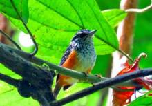 Shiripuno Lodge ~ Warbling Antbird. Photo taken by Daniel Hicks.