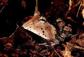 Shiripuno Lodge ~ The Amazon Horned Rain Frog, it's a ground-dweller amphibian using its camouflage waits for its prey to pass by, the sit-and-wait technique is used by many species of the Amazon Rainforest.