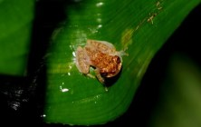 Amazon Tree Frog