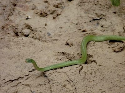 Chironius Whip Snake lives in the canopy of the Amazon Rainforest. Yasuni Biosphere Reserve.