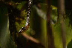 Chironius Whip Snake exploring for prey