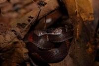 Calico is ground-dwelling snake, found in the flooded forest of the Yasuni Biosphere Reserve.