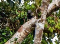 Napo Saky Monkey. Yasuni Biosphere Reserve in Ecuador
