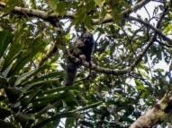 Napo Saky Monkey . Yasuni Biosphere Reserve in Ecuador