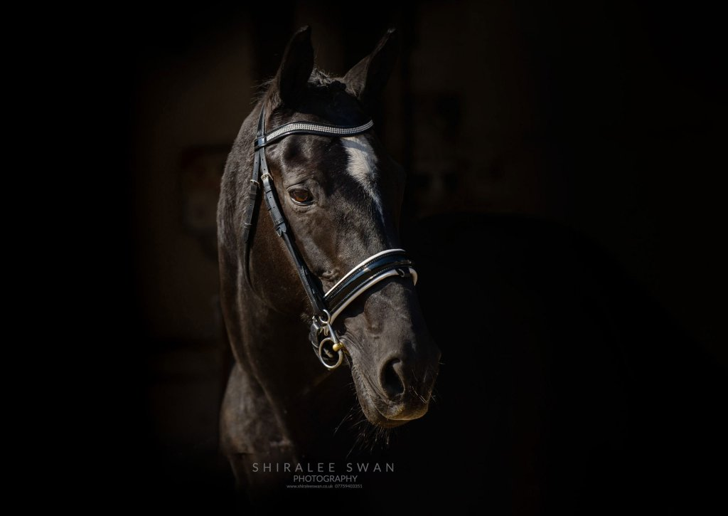 A photographic portrait of a dressage horse