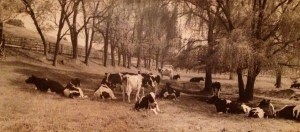 Grant Heilman's photograph of our cows in the meadow, 1960's.