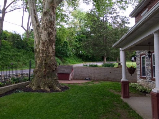 One of two sycamore trees that shade the old farmhouse of my youth.