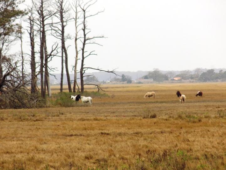 Ponies on Chincoteague Island.