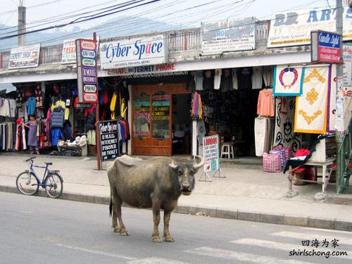 哈哈!博卡拉真的很多牛只哟!这张是Ed在第二次去博卡拉拍的。