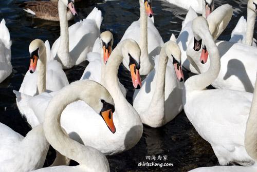 温莎 - 河边的天鹅