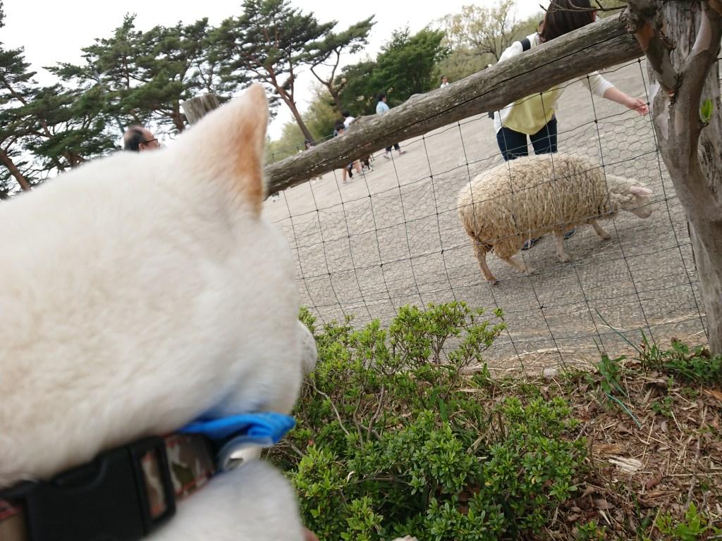 南ケ丘牧場 羊