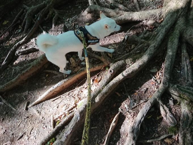 立派な木の根がたくさん