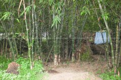 the shelter inside the bamboo vagetation is used as a resting zone for cattle herds.