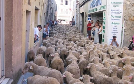 sheep-fired