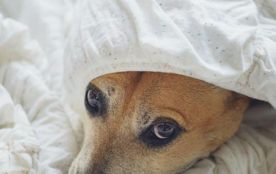 faucis-dog-1