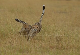 Malaika cubs at play