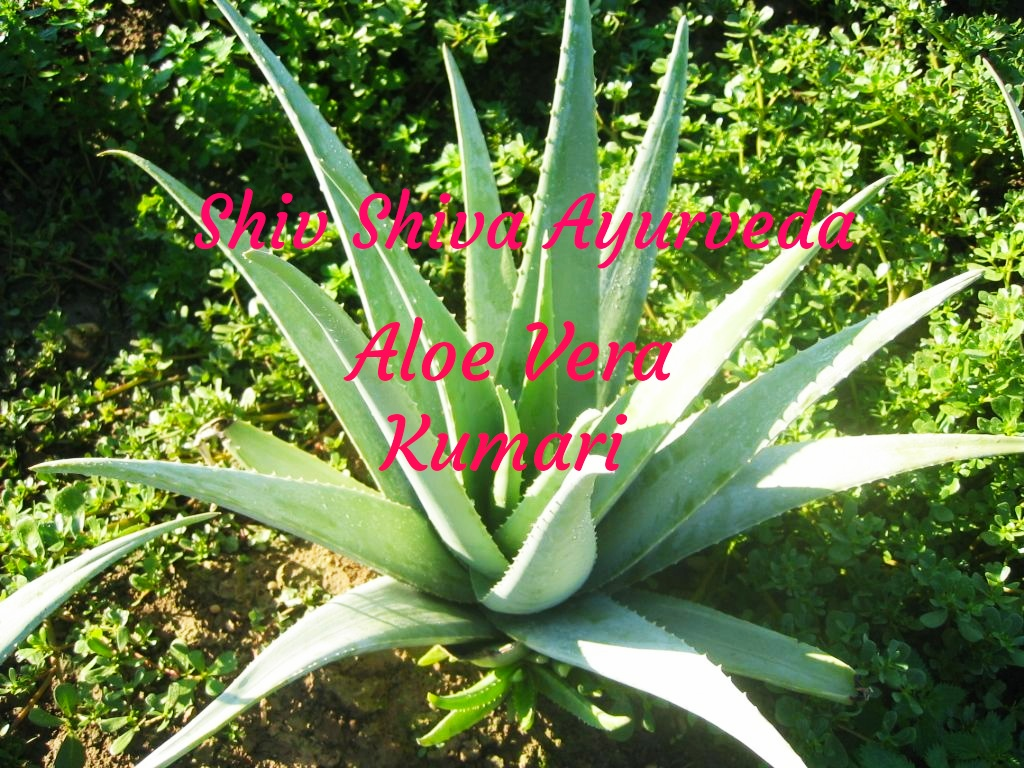 BENEFITS AND PROPERTY OF KUMARI (ALOE VERA)